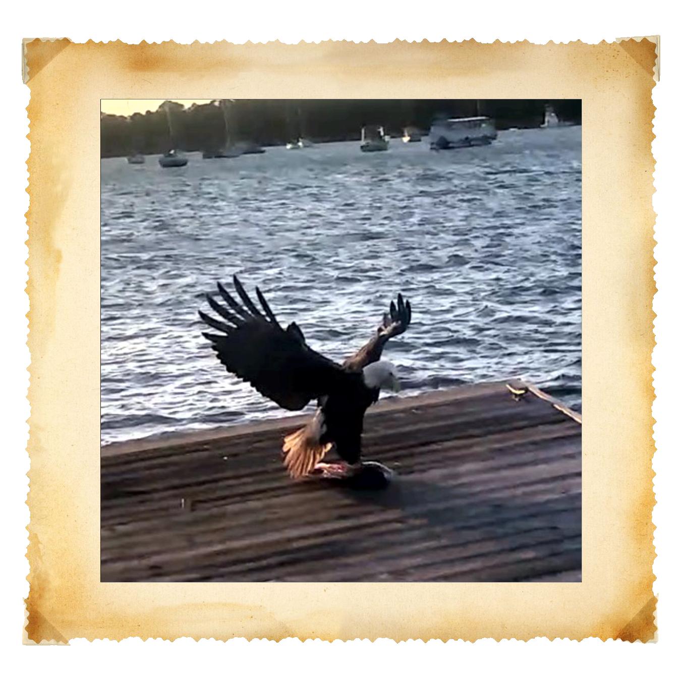 Eagle_Gets_Fish